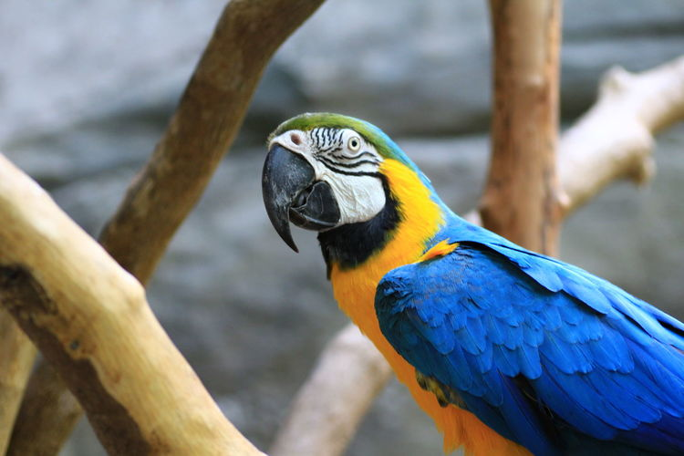 Close-Up Of Gold And Blue Macaw Outdoors