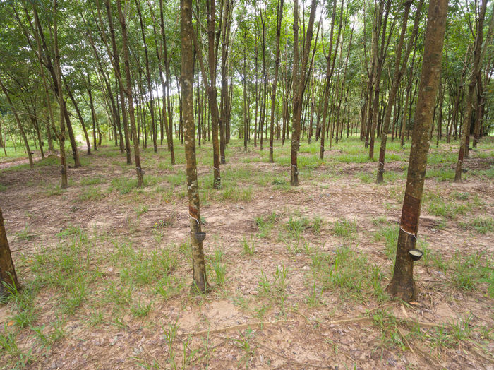 rubber plantations in Thailand Tree Forest Land Plant WoodLand Tranquility Tranquil Scene Tree Trunk No People Trunk Scenics - Nature Day Nature Non-urban Scene Environment Landscape Outdoors Beauty In Nature Growth Grass Pine Woodland