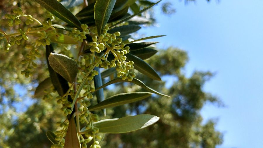 Fresh, young olive berries saturate an olive tree branch. Freshness Fruiting Tree Green Color Growth No People Olive Berries Olive Tree Olive Tree Against Blue Sky Olives On Branch Young Olive Fruit