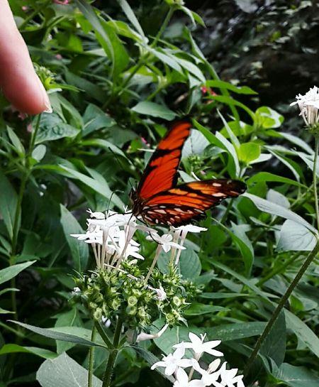 Butterfly Garden Butterfly Wonderland Butterfly And Flowers Creature Beautiful Nature Orange Black EyeEm Gallery EyeEm Nature Lover