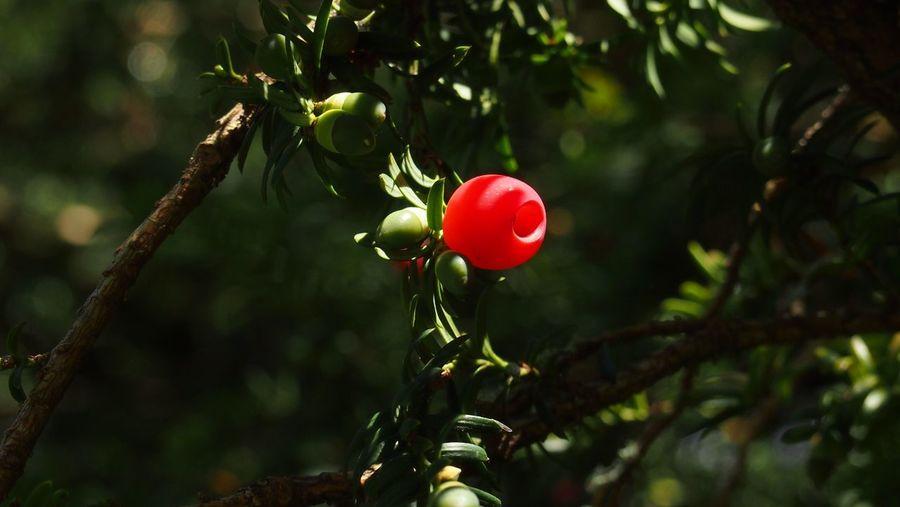 England Uk Arils Yew Tree Female Yew Tree Tree Fruit Red Branch Close-up Plant