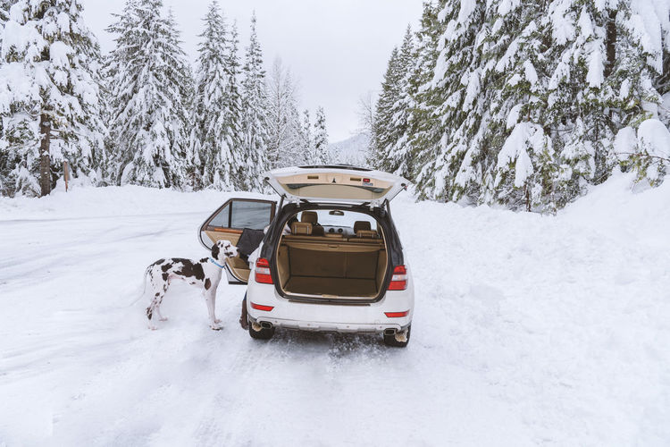 Dog waiting to hop into suv after romping in winter snow, mountain forest.