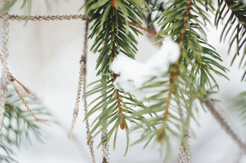 Tree Spruce Tree Fir Tree Branch Christmas Decoration Cold Temperature Winter Snowflake Snow Christmas My Best Photo
