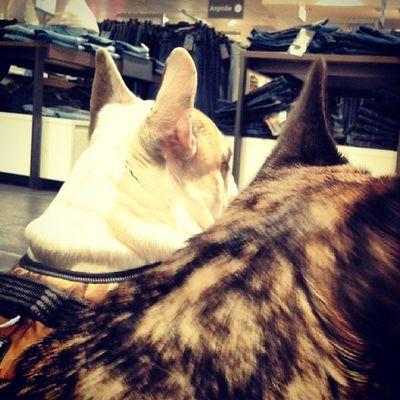 Petstagram Bullstagram Bulldog Frenchie frenchbulldog hund dog dogstagram pug bella atze shoping