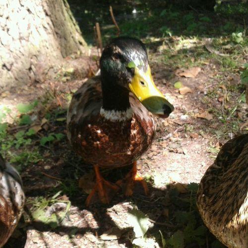 quark quark. Überall gibt es hier Enten Der ganze Park ist voll mit Enten. Animals Funny Swimming Pets