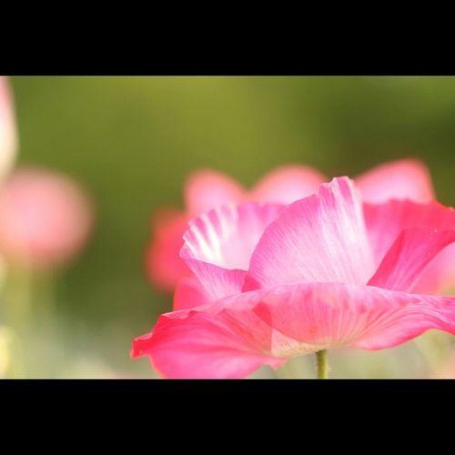 ポピー ポピー ひなげし 雛罌粟 ぐびじんそう 虞美人草 アマポーラ コクリコ 花 植物 川崎町 みちのく杜の湖畔公園 Poppy