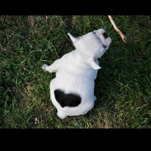 ❣ Herzensbrecher ❣ Bulldog Frenchie Frenchbulldog French Bulldog Bulldogs Bulldogfrances Bulldogs ♥ Bulldog Pups Bulldog Puppy Welpen Welpe Heart Heartbroken Heartbreaker