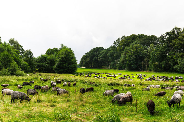 Flock of Sheep/ with my Canon - (c) Nidal Sadeq Copy Space EyeEm Best Shots EyeEm Nature Lover Animal Themes Beauty In Nature Day Domestic Animals Field Flock Of Sheep Grass Grazing Green Color Herd Herd Animal Landscape Large Group Of Animals Livestock Mammal Nature No People Outdoors Sheep Sky Tree