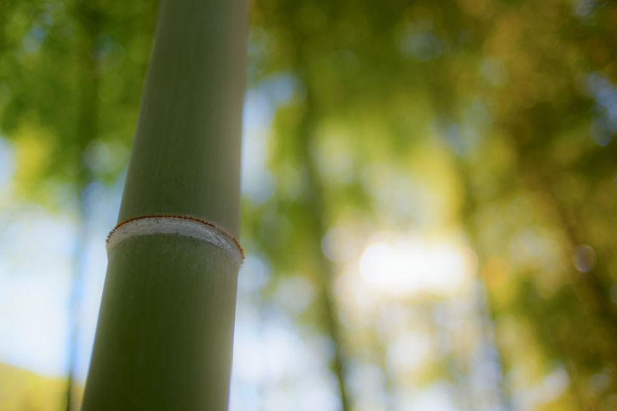 Bamboo in Tokyo. Green Japan Japanese Garden Japanese Style Tokyo Bamboo Bamboo - Plant Bamboo Grove Beauty In Nature Close-up Day Focus On Foreground Forest Green Color Growth Land Low Angle View Nature No People Outdoors Plant Sunlight Tranquility Tree Tree Trunk