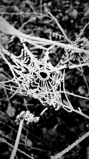 Spider Spider Web Black & White Nature Animal Small Art Eight Legs