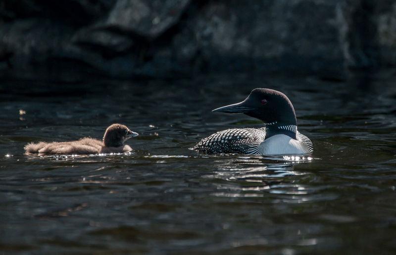 Water birds swimming in lake