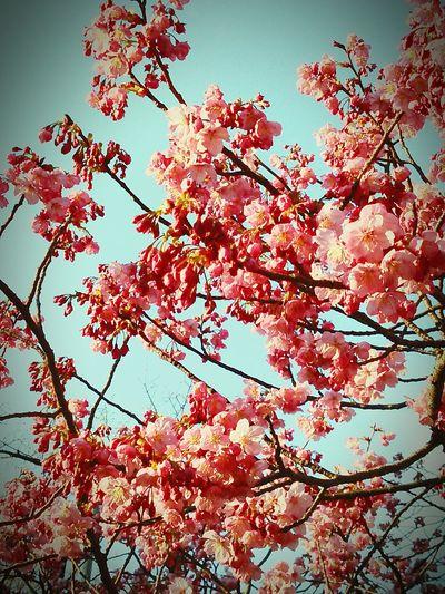 cherry tree hanami