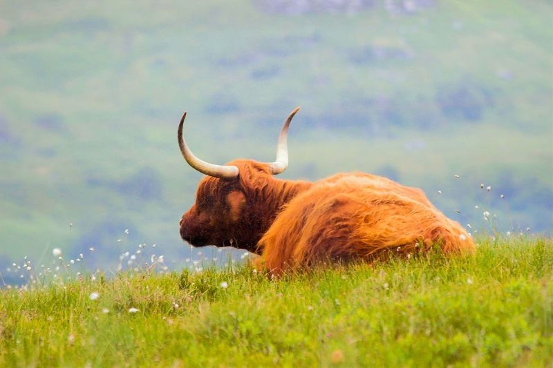 Heilan Coo Cows In The Feilds Shrubs Greenery Beauty In Nature Animal Photography Outdoor Photography Outdoors Connected With Nature Tranquility Highland Cow EyeEm Nature Lover Popular Photos Grassy Orange Hair Orange