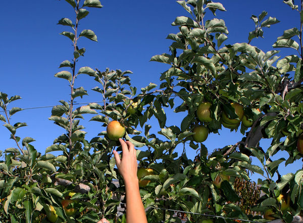 Where food comes from... Hands At Work Picking Apples Apples Picking Fruit Apple Tree Orchard Apple Orchard Working Hard Working Hands Tranquility Strong Working People Harvesting Growth Tranquil Hand Nature Ripe Fruit Ripe Harvest Food Stories Fruit Tree Human Hand Human Body Part Lifestyles Freshness Green Color Healthy Eating Food And Drink Autumn Mood