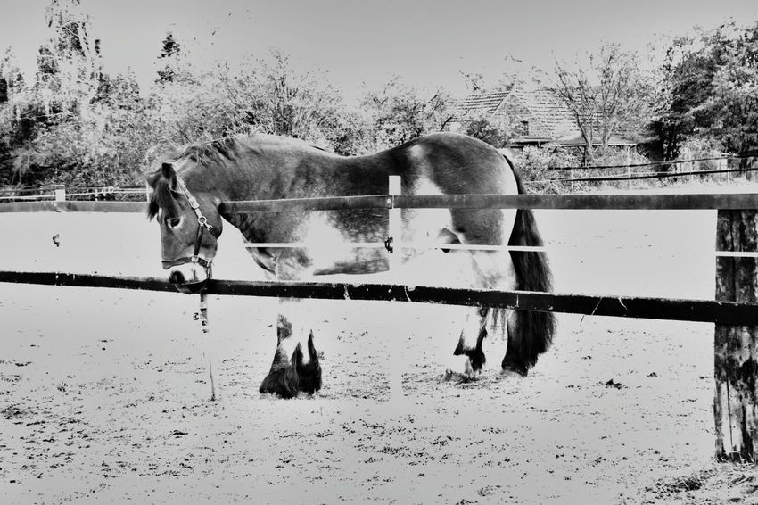 Draft Horses Renish German Coldblood Drafthorse Horse Photography  Horse Black And White