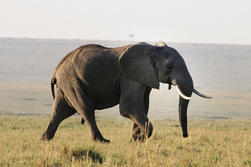 Elephant on grass at sunset