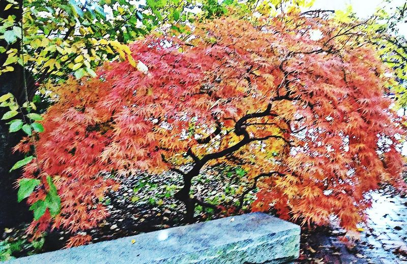 a pink place to think...~ Japanese Maple Loving The Landscape Color Of Life Freshness Taking A Walk Beauty In Nature Love My City Bright Colors Gardenlover Yellow Orange Pink Nature Lover Rainy Days Granite Bench Reflection Churchyard Happiness Fall City Garden No People Portland Maine Backgrounds Full Frame Textured  Tree Close-up Change Leaves Autumn Collection
