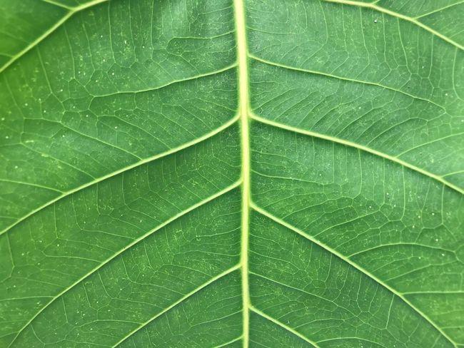Green leaf Leaf Green Color Plant Part Backgrounds Full Frame Plant Leaf Vein