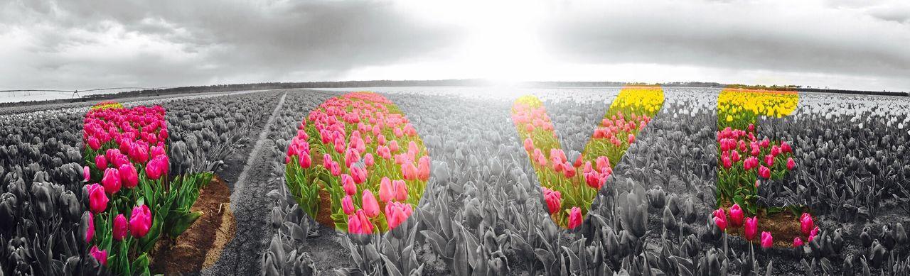 Love Love Tulips EyeEm Gallery Sunrise_sunsets_aroundworld Colors EyeEm Best Shots Sunshine Sunset #sun #clouds #skylovers #sky #nature #beautifulinnature #naturalbeauty #photography #landscape Flowers, Nature And Beauty Flower Cloud - Sky EyeEm Nature Lover EyeEmBestPics Eye4photography  IPhoneography EyeEm Best Shots - Nature Photooftheday Flowers,Plants & Garden Flower Collection Explosion Rainy Day Rainy Days Sunrise