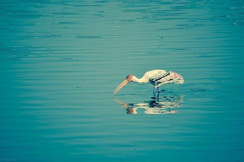 Nature Naturelovers Birds Birdphotography Ig_nature Ig_naturelovers Flamingoes Madivalalake Reflection Vscocam VSCO Nikonindiaofficial Nikon Ig_captures Blue Ig_bangalore