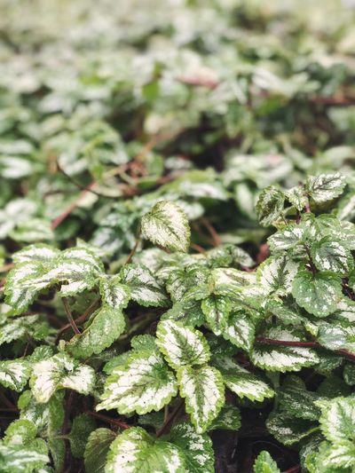 Green Pattern Texture Plants Plant Green Green Color No People Vegetable Food And Drink Close-up Herb Growth Freshness Outdoors Nature Day Plant