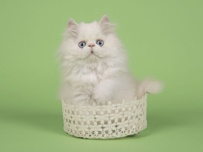 Cute white persian longhair kitten sitting in a white lace basket looking at the camera with blue eyes on a green background Blue Eyes Persian Cat  Animal Animal Themes Baby Cat Basket Cat Colored Background Cute Cats Cute Kitten Feline Green Background Kitten Lace Basket Looking At Camera Persian Cat  Persian Kitten Pets Purebred Cat Studio Shot Whisker Young Animal