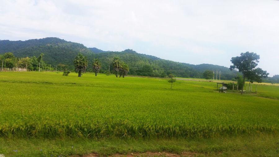 Green field of