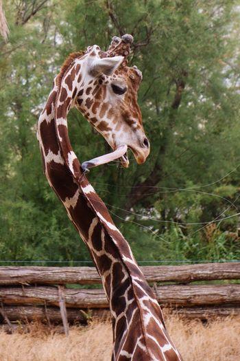 Giraffe against trees at zoo