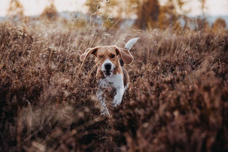 Nuca the beagle Run Running Runway Animal Themes Beagle Close-up Day Dog Domestic Animals Grass Looking At Camera Mammal Nature No People One Animal Outdoors Pets Portrait Selective Focus