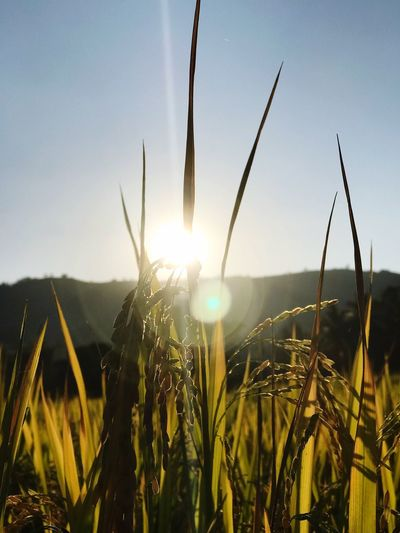 Rice Field Sky Growth Plant Beauty In Nature Sunlight Tranquility Nature Landscape Scenics - Nature Sunset Sun This Is Natural Beauty