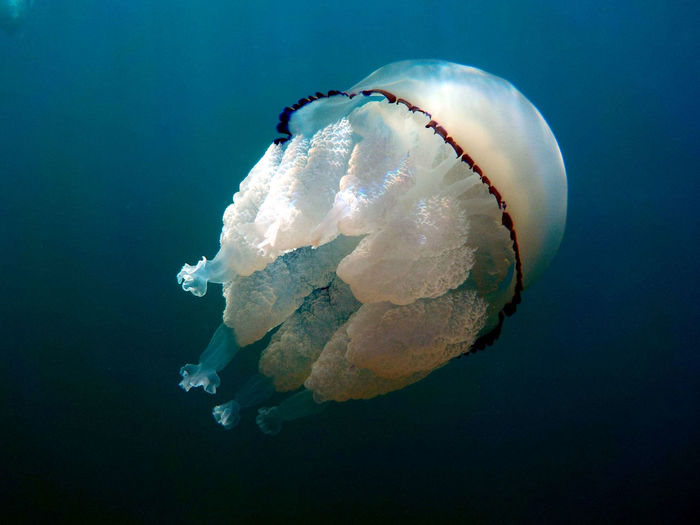 great barrel jellyfish or dustbin-lid jellyfish or frilly-mouthed rhizostoma pulmo true jellyfish class scyphozoa is gently carried away by the sea current Quiet Tentacle Stinging Cnidaria Jelly Jellyfish Blue Sky White Urticant Nature Wildlife Sea Underwater Water Scyphozoa