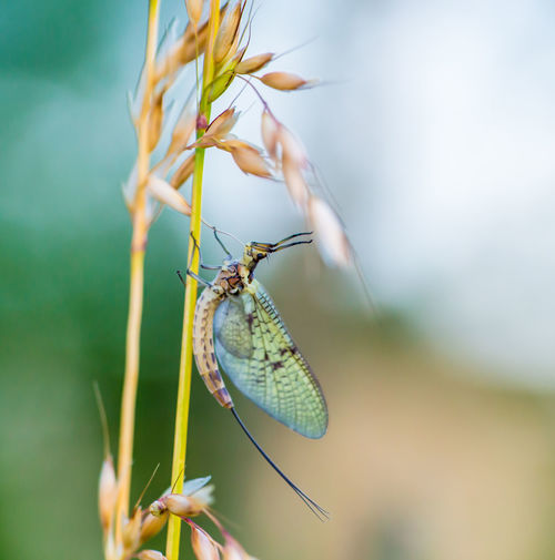 Macro shot of a mayfly Invertebrate Animal Wildlife Insect Animals In The Wild One Animal Animal Themes Animal Plant Close-up Animal Wing Beauty In Nature Selective Focus Focus On Foreground Day Nature No People Flower Growth Butterfly - Insect Zoology Butterfly Mayfly Shadfly