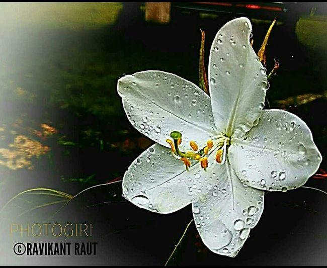 Photogiri Ravikant Raut Nature RainDrop Dew Drops On Petal