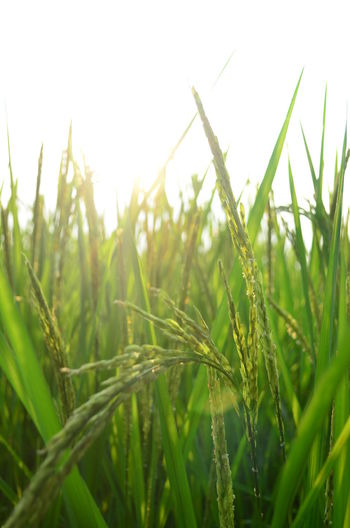 Rice Nature Close-up Agriculture Growth Green Color No People Outdoors Day Cereal Plant Plant Freshness Sky Rural Scene Beauty In Nature Rice Paddy Grass Fragility Rice Field Rice Farm Rice Plant Rice Harvesting Rice Grain Riceworld Rice - Cereal Plant Nature_collection