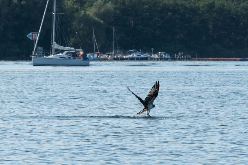 Fischadler an der Müritz Accipitriformes Aves Bird Of Prey Bird Of Prey In Flight Birds Birds Of EyeEm  Birds_collection Fischadler Fish Eagle Fish Hawk Greif Greifvogel Müritz Müritz Nationalpark Müritz, Germany Müritz-Nationalpark Osprey  Pandion Haliaetus Pandionidae Raptor Raptorial Bird Raubvogel Seahawk Seahawks Vogel
