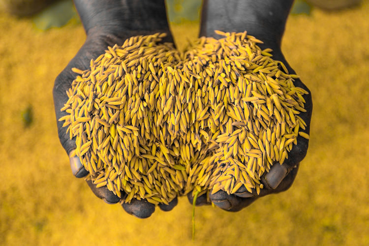 Cropped Hands Of Farmer Holding Grains