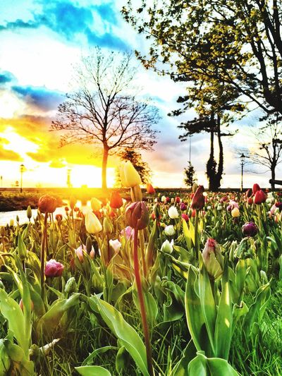 Harderwijk Plantagepark Tulip Tulips Tulips🌷 Tulips Flowers Sunset Sunset_collection Sunsets Flowers Flower Visual Creativity