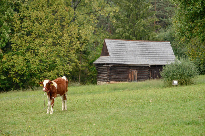 Cow standing in a farm