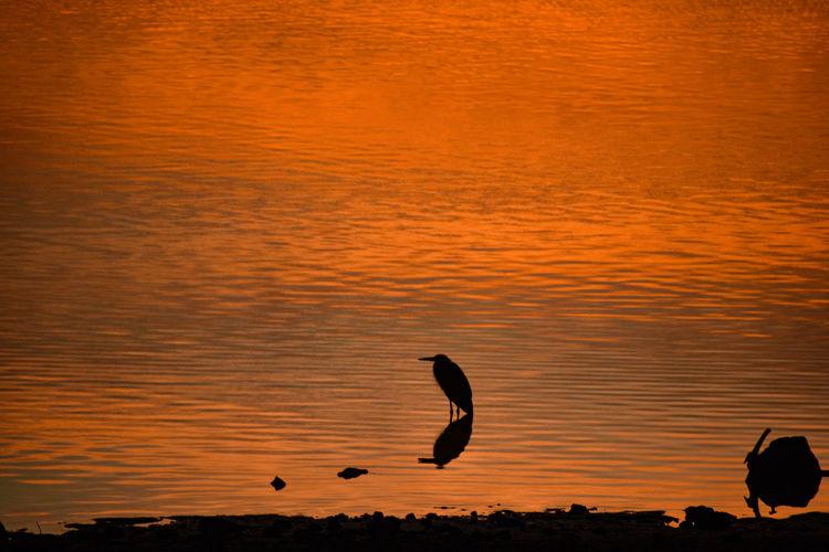 Bird silhouette against orange sunrise reflection