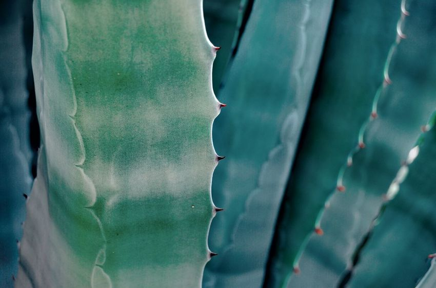 Cactus Cactus Plant Cactus Leaf Backgrounds Full Frame Textured  Abstract Close-up Textured Effect Color Gradient Turquoise Colored Prickly Pear Cactus Saguaro Cactus