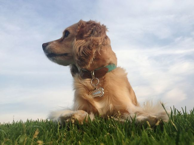 EyeEm Selects Dog Pets Animal Golden Retriever Domestic Animals Retriever Cheerful Purebred Dog Mammal Happiness Sitting Shaking One Animal Puppy Labrador Retriever Outdoors Nature Ear Grass Smiling