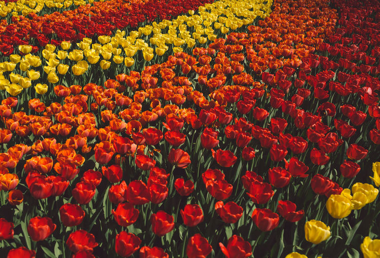 Netherlands Abundance Backgrounds Beauty In Nature Close-up Flower Flower Head Flowerbed Flowering Plant Flowers Fragility Freshness Full Frame Growth Inflorescence Multi Colored Nature No People Outdoors Park Petal Plant Red Spring Springtime Tulip Vulnerability  Yellow