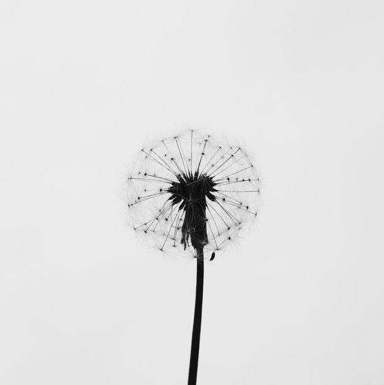 Lion. Dandelion Simple Plant Plants And Flowers Silhouette