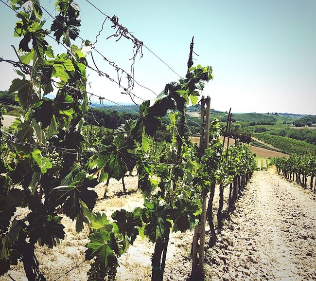 Summertime Summer Views Summer Wine Summer Tuscan Summer Tuscan Landscapes Grapes On Vine Winery Farm Winery View Winery Tour Vineyard Tuscany Tuscany Countryside Travel Italy Travel Grapes On The Vine Vineyard Wine Farm Wine Country Italy Wine Winery Photography San Gimignano Cinque Terre Tuscany Landscape