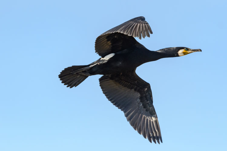 Low angle view of cormoran flying in sky