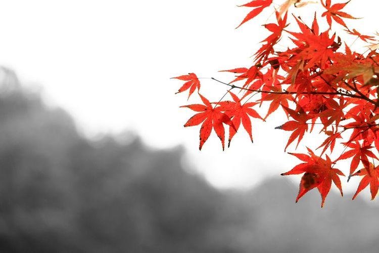 紅葉 Autumn Enjoying Life Red Close-up Beauty In Nature Nature 写真好きな人と繋がりたい 写真撮ってる人と繋がりたい Canon EOS 70D 紅葉2016 ファインダー越しの私の世界 EyeEm Best Shots EyeEm Gallery カラスプ Canon 70d Black And White Monochrome_life BW_photography Monochrome Flower