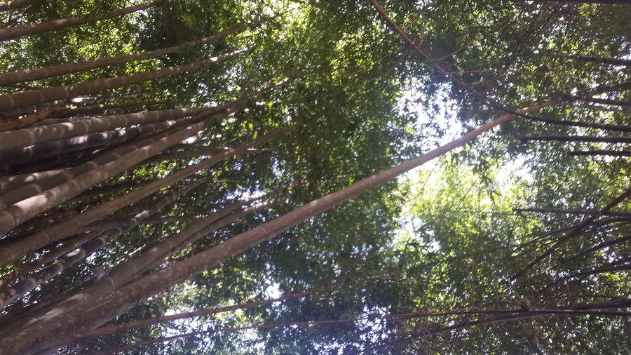 ป่าไผ่ Tree Nature Growth Green Color No People Low Angle View Beauty In Nature Outdoors Day