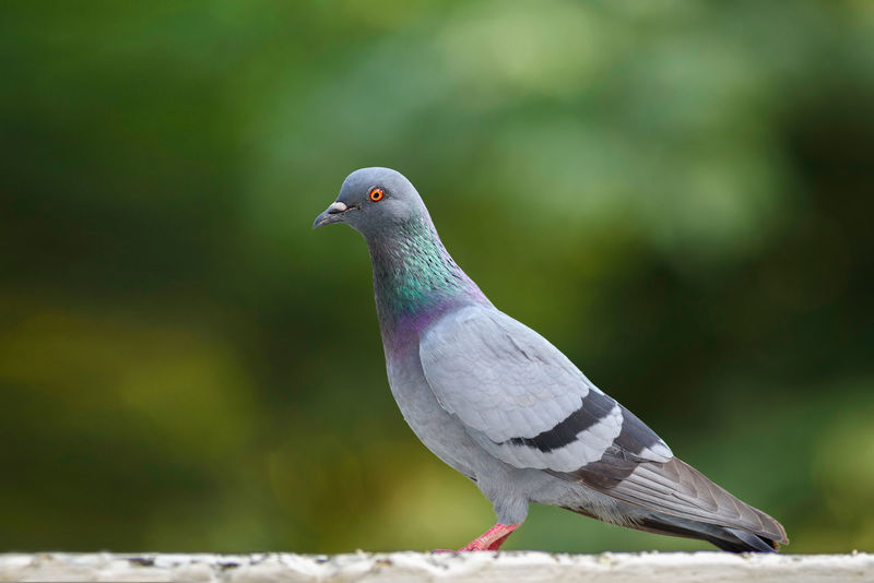 Portrait of a Pigeon Bird Bookeh Close-up Greenery Nature One Animal Pigeon Portrait Selective Focus Side View