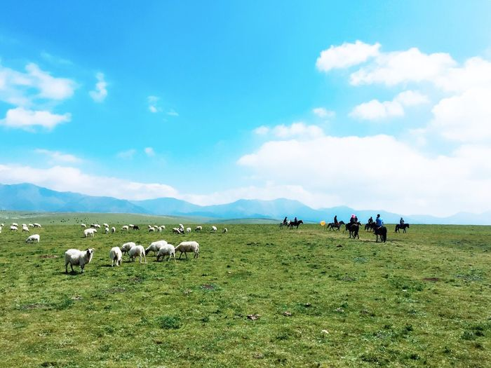 Sheep grazing while people horseback riding on field against sky