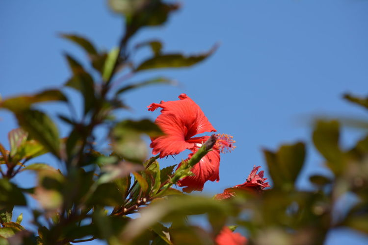 Red Hibiscus against the blue sky Animal Themes Animals In The Wild Beauty In Nature Blooming Close-up Day Flower Flower Head Fragility Freshness Growth Hibiscus Nature No People One Animal Outdoors Petal Plant Pollen Red Red Flower Against Blue Sky